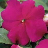 IMPATIENS SUPER ELFIN XP VIOLET