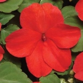IMPATIENS SUPER ELFIN XP PUNCH