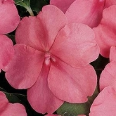 IMPATIENS SUPER ELFIN XP CORAL