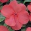 IMPATIENS SUPER ELFIN XP SALMON (240 Plantas).