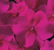 IMPATIENS ACCENT PREMIUM BURGUNDY