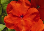 IMPATIENS ACCENT PREMIUM ORANGE