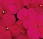 IMPATIENS ACCENT CRANBERRY
