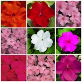 IMPATIENS ACCENT PREMIUM MIX