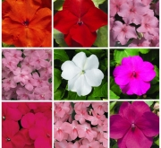 IMPATIENS ACCENT PREMIUM / ELFIN MIX