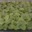 GERBERA MAJORETTE MIX (144 Plantas).