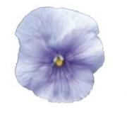 PENSAMIENTO DYNAMITE LIGTH BLUE (240 Plantas).