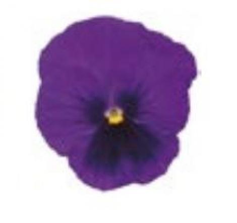 PENSAMIENTO DYNAMITE DEEP BLUE WITH BLOTCH (240 Plantas).