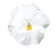 PENSAMIENTO DYNAMITE PURE WHITE (240 Plantas).