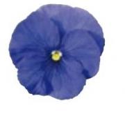 PENSAMIENTO DYNAMITE TRUE BLUE (240 Plantas).