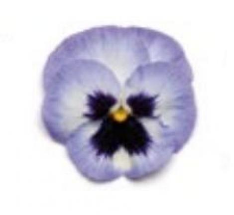 PENSAMIENTO MATRIX BLUE FROST (240 Plantas).