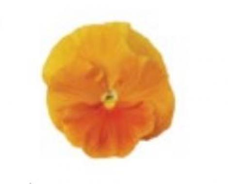 PENSAMIENTO MATRIX ORANGE (240 Plantas).