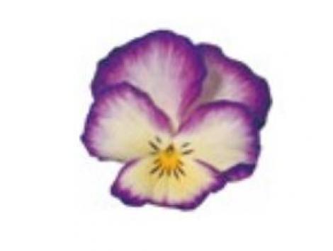PENSAMIENTO ULTIMA FANTASIA VIOLET (240 Plantas).