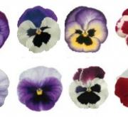 PENSAMIETOS DYNAMITE FANTASIA MIX (240 Plantas).