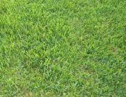 Semillas de Buchloe Dactyloides ó Hierba Búfalo
