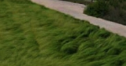 Semillas de Eragrostis Curvula Cespitosa