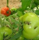 Insectos para Control de Plagas de los Tomates