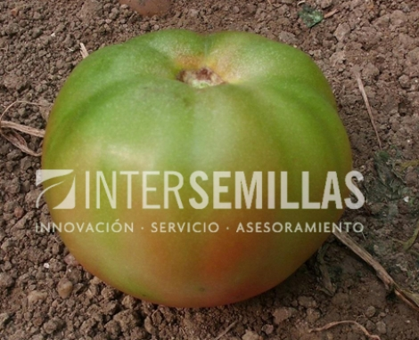 TOMATE ROMARIO F1  (1.000 semillas)