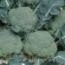 BROCOLI BELSTAR F1 Precisión ( 10.000 semillas)
