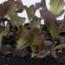 LECHUGA FIGUEROA BABY LEAF (1.000.000 de Semillas)
