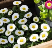BELLIS SPEEDSTAR PLUS BLANCO (240 Plantas).