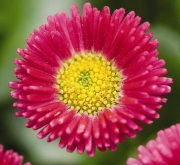 BELLIS SPEEDSTAR PLUS ROJO (240 Plantas).