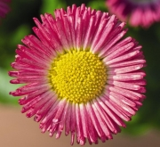 BELLIS SPEEDSTAR PLUS ROSA (240 Plantas).