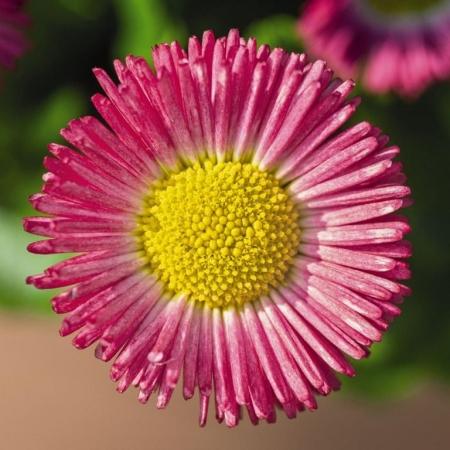 BELLIS SPEEDSTAR PLUS ROSA (240 Plantas).