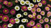 BELLIS SPEEDSTAR PLUS MIX