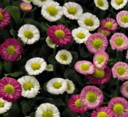 BELLIS SPEEDSTAR PLUS MIX (240 Plantas).