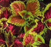 COLEUS PREMIUM MIX (240 Plantas).