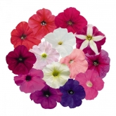 PETUNIA SUCCESS MIX