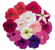 PETUNIA SUCCESS MIX (240 Plantas).