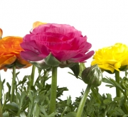 RANUNCULUS SPRINKLES MIX