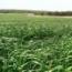 RAY GRASS WESTERWOLD BRAULIO (25 Kgr.).