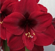 AMARYLLIS BENFICA ® - Cal. 34/36