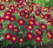 ARGYRANTHEMUM MADEIRA RED (125 Plantas)
