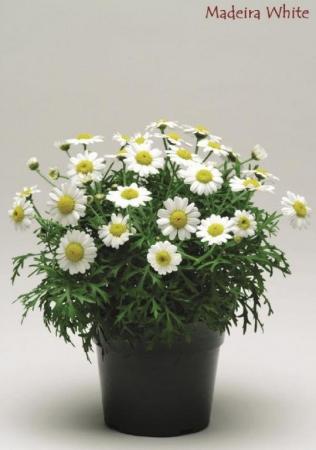 ARGYRANTHEMUM MADEIRA WHITE (125 Plantas).
