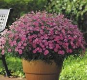 ARGYRANTHEMUM MADEIRA PINK (125 Plantas).