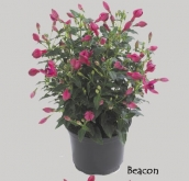 FUCHSIA DIVA BEACON