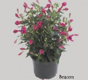 FUCHSIA DIVA BEACON (125 Plantas).