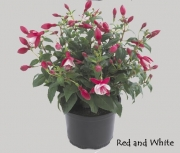 FUCHSIA DIVA RED AND WHITE