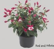 FUCHSIA DIVA RED AND WHITE / CHERRY AND WHITE (125...