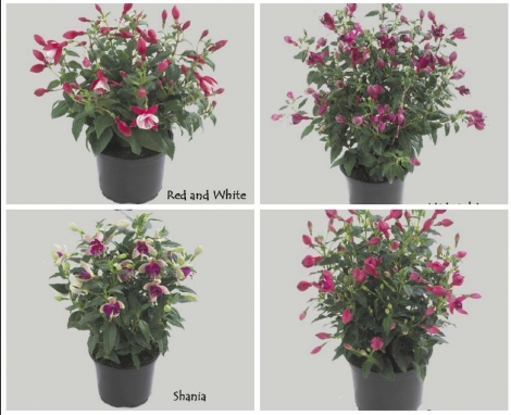 FUCHSIA DIVA MIX (125 Plantas).