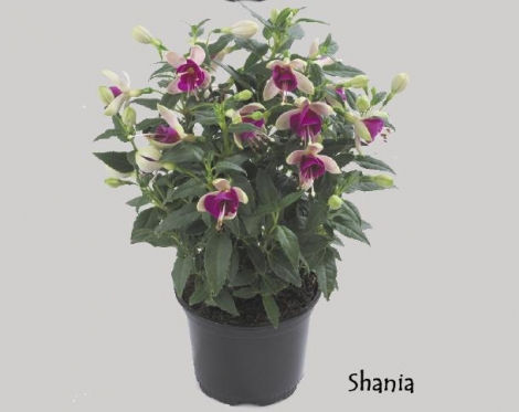 FUCHSIA DIVA SHANIA (125 Plantas).