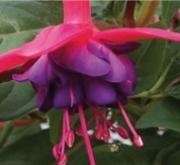 FUCHSIA DOLLARPRINZESSIN (125 Plantas).