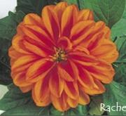 DAHLIA DAHLIETTA RACHEL (84 Plantas).