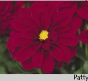 DAHLIA DAHLIETTA PATTY (84 Plantas).