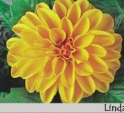 DAHLIA DAHLIETTA LINDA (84 Plantas).