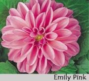 DAHLIA DAHLIETTA EMILY PINK (84 Plantas).